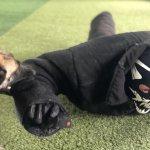 Воспитание охранной собаки Киев