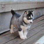 Купить щенка хаски